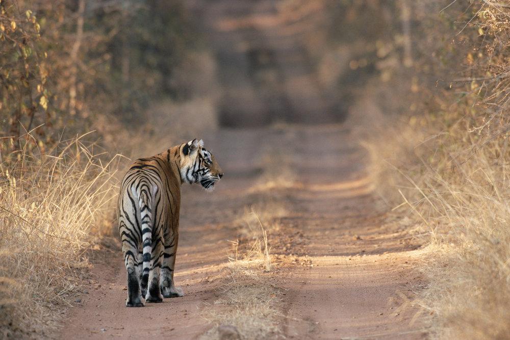 Tigress on forest track, Ranthambhore National Park, Rajasthan, India