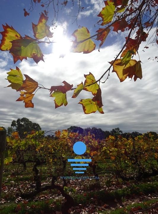 'One Vine Day' - SV-008 - LARGE