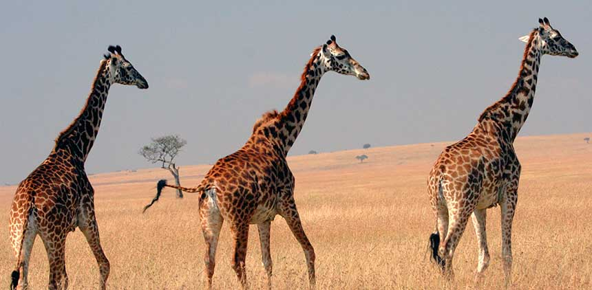 Masai_Giraffes_on_the_Masai_Mara_plainsx.jpg
