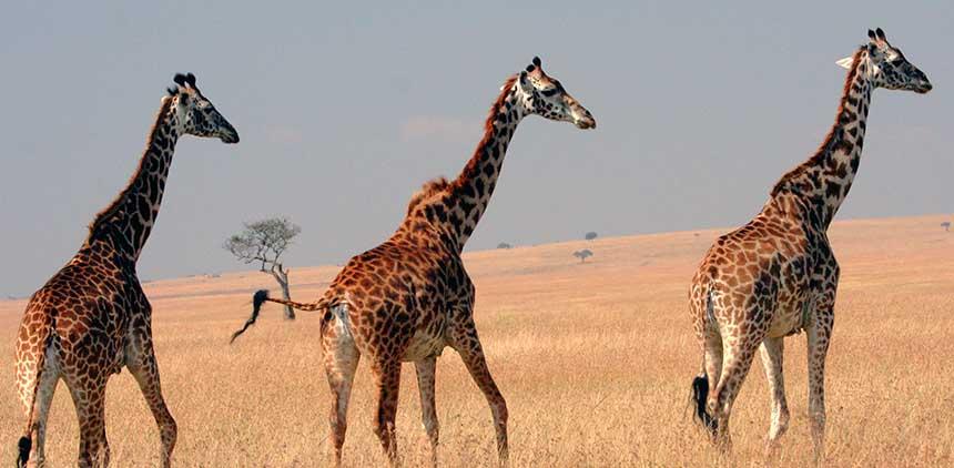 Masai_Giraffes_on_the_Masai_Mara_plainsx.jpg