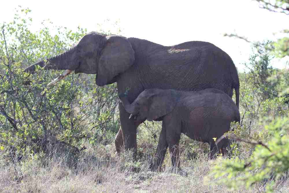 Female elephant with her calf