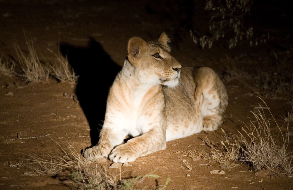 Night game drives nearly always produce the big cats.....