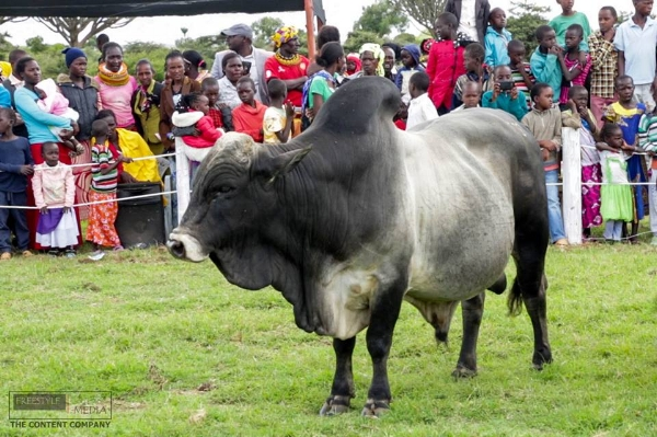 Bull on show with community behind.jpg