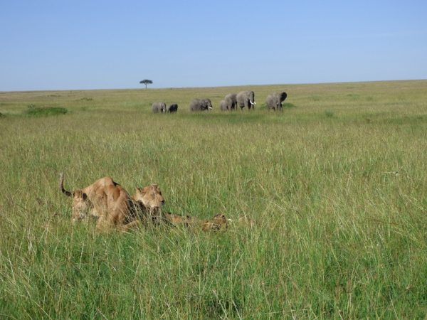 Lions playing infront of eles.jpg