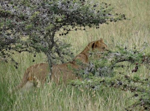 Lion in a bush.jpg