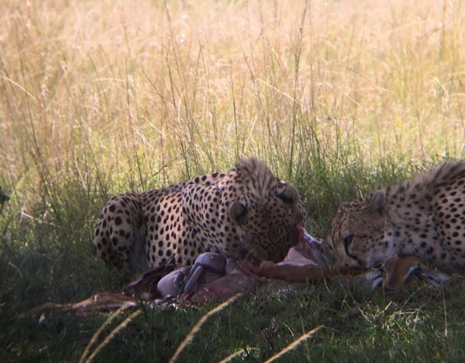 10th August - cheetah kill not even 5 minutes from the Airstrip.jpg
