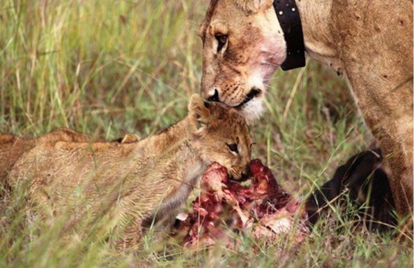 Lioness with cub colared.jpg
