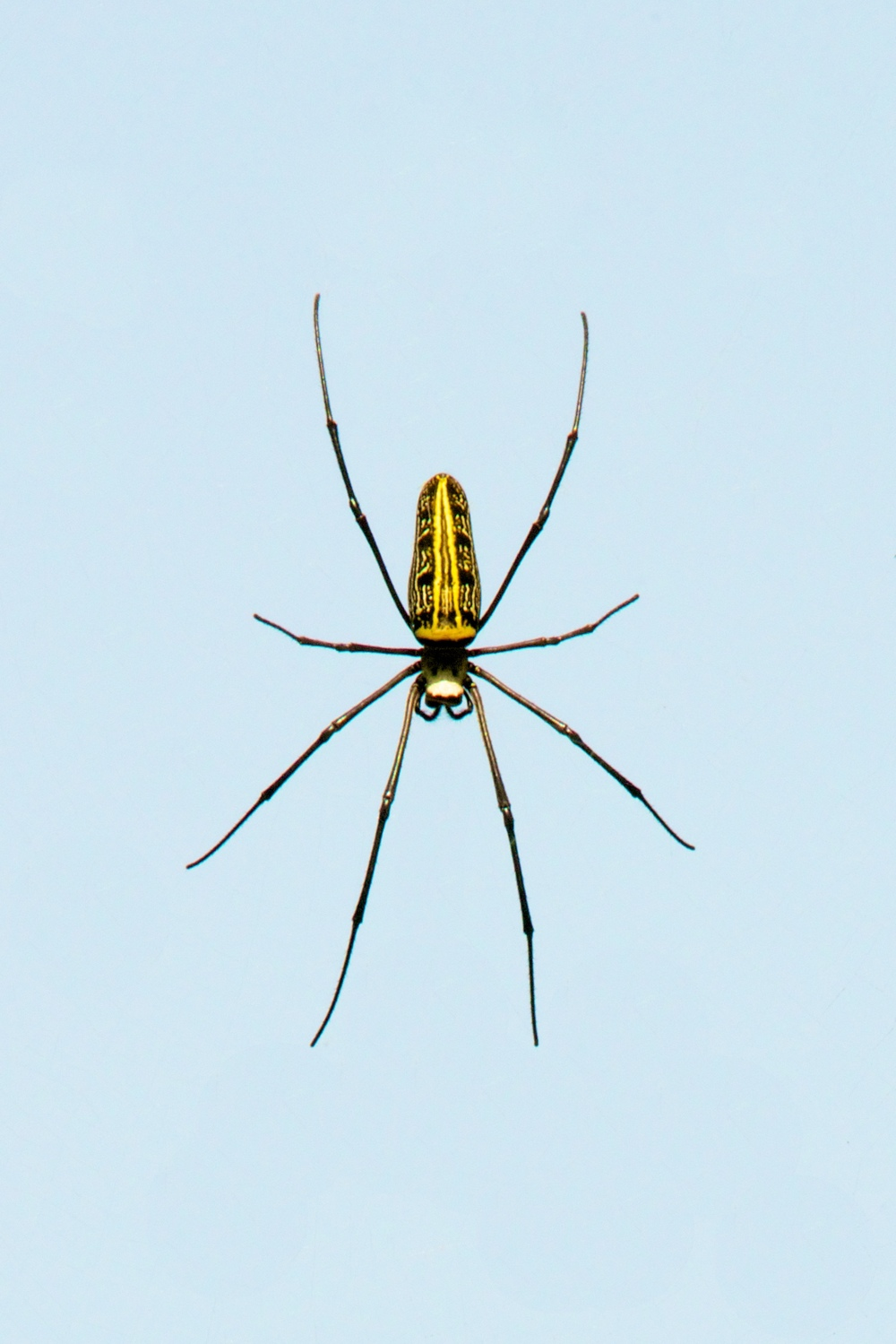 Female wood spider