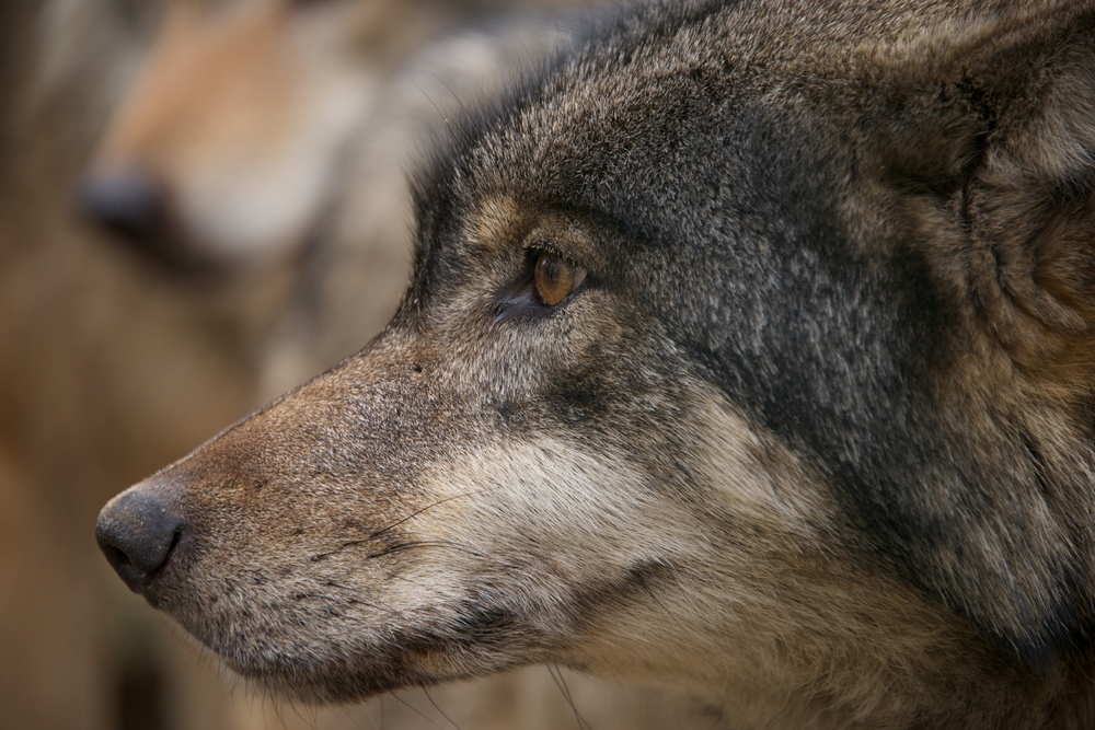 Close-up of a wolf head in profile