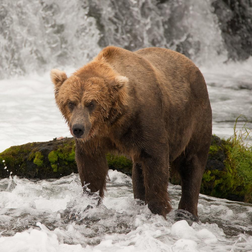 Brown bear beside mossy rock below waterfall