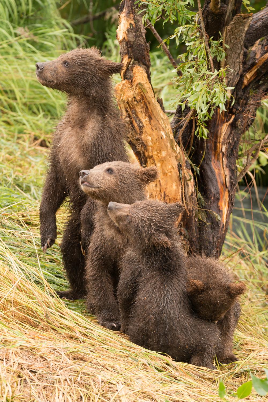 Four brown bear cubs in diagonal line
