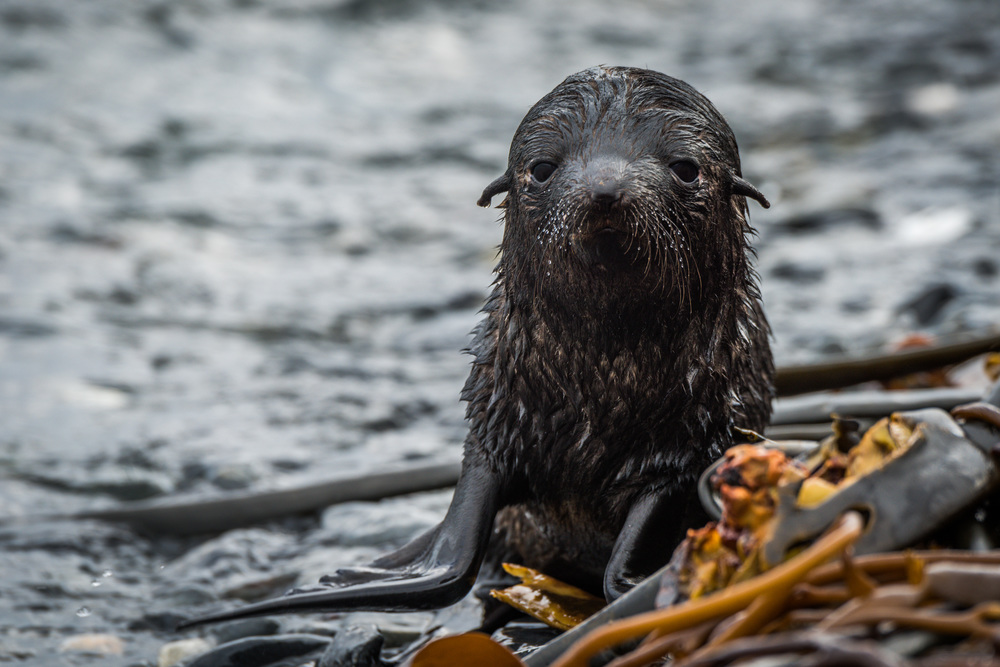 Antarctic fur seal pup looks at camera
