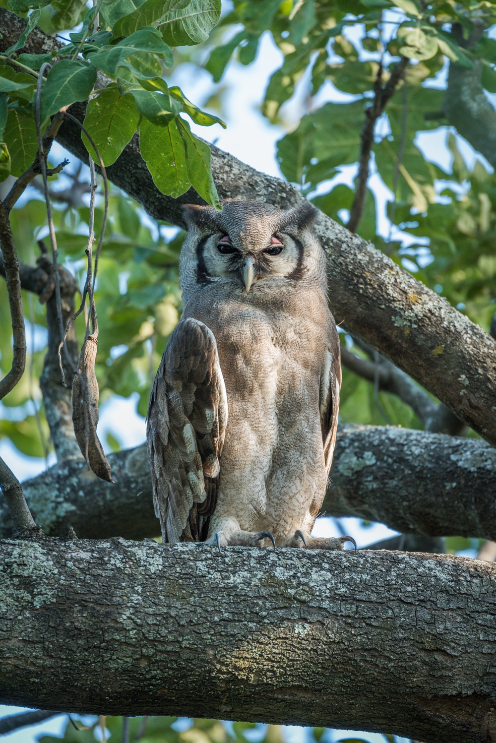 A spotted eagle owl looking very wise
