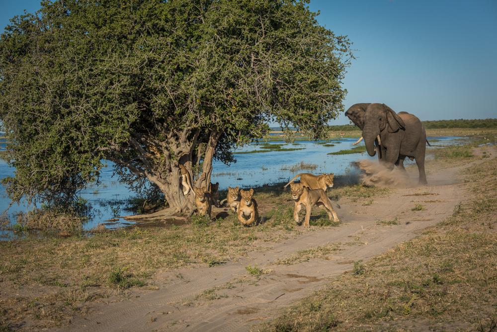 Elephant 1 Lions 0