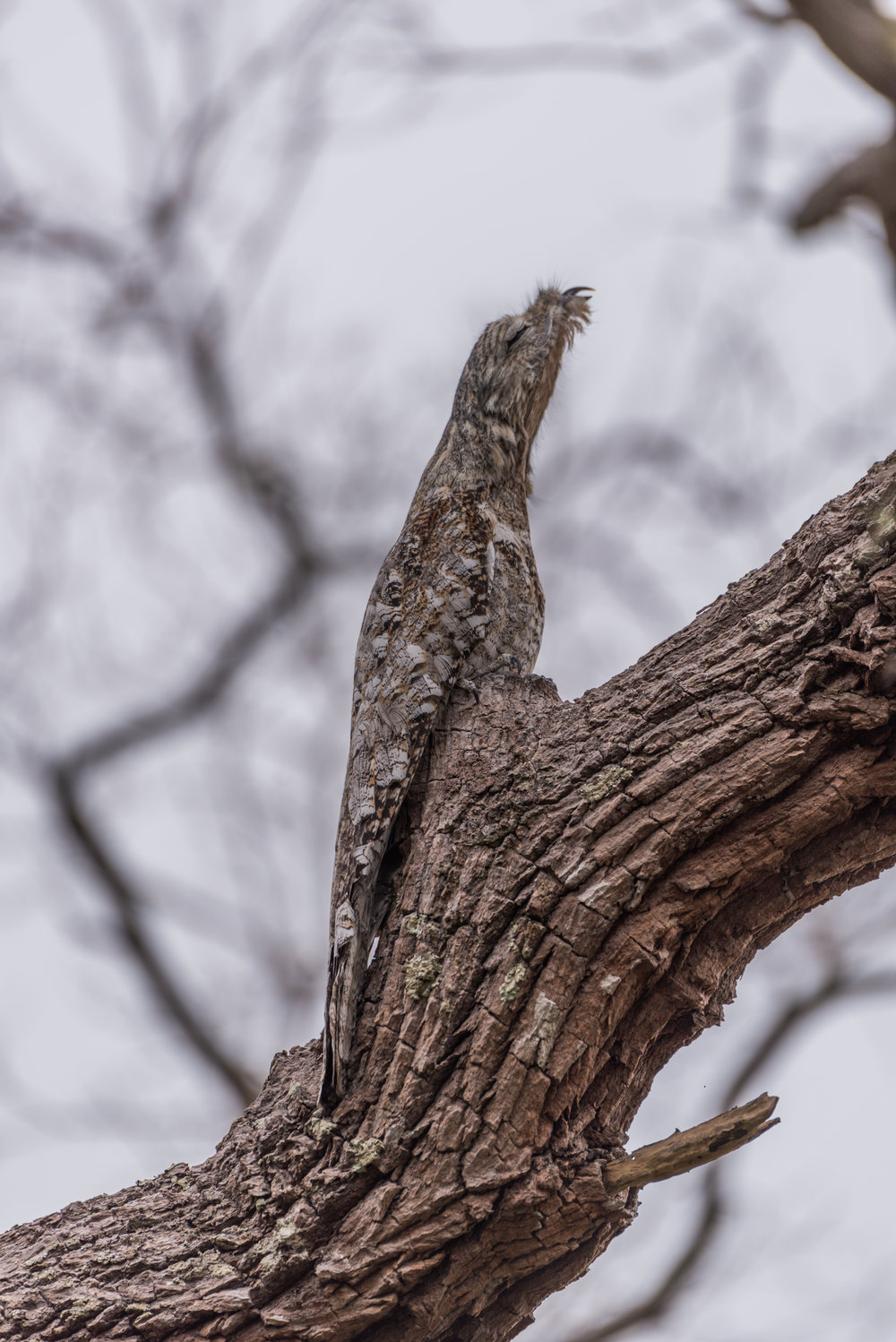A great potoo or just a bit of a tree...?