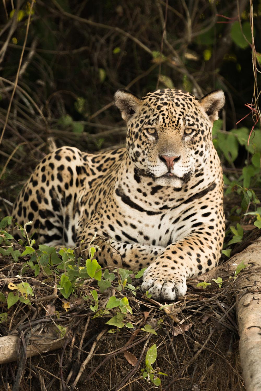 Kevin the Jaguar