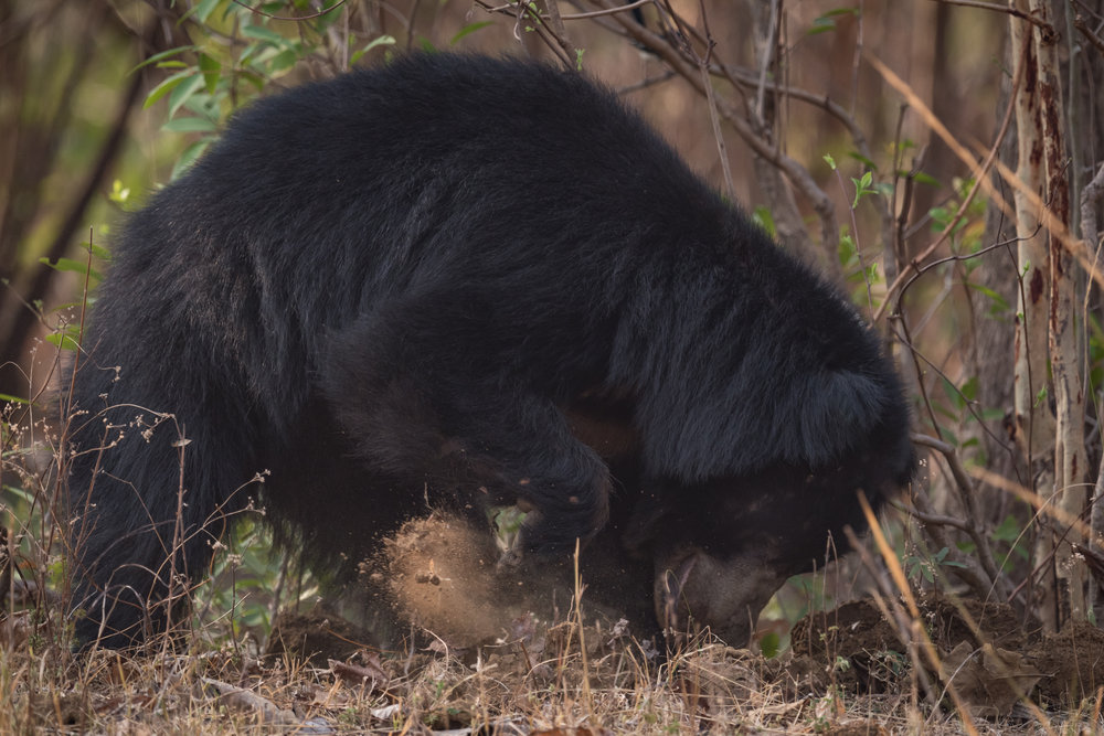 One sloth bear weighs the equivalent of 156,378 termites