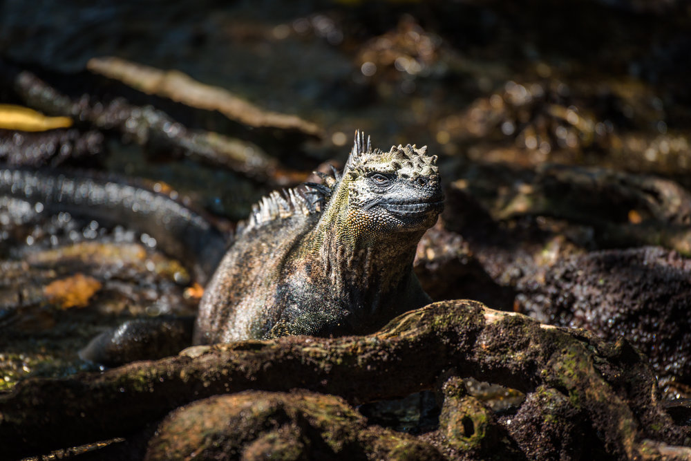 13: Marine iguana among roots staring at camera Again, a great capture, just tone down the highlights and the background a little, would again stop the eye wandering from the main subject