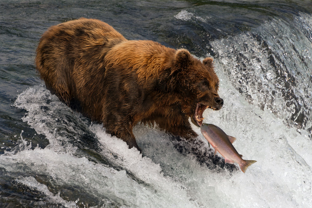 14: Bear about to catch salmon in mouth Verdict: Cracking shot, but the image appears too light and looks washed out