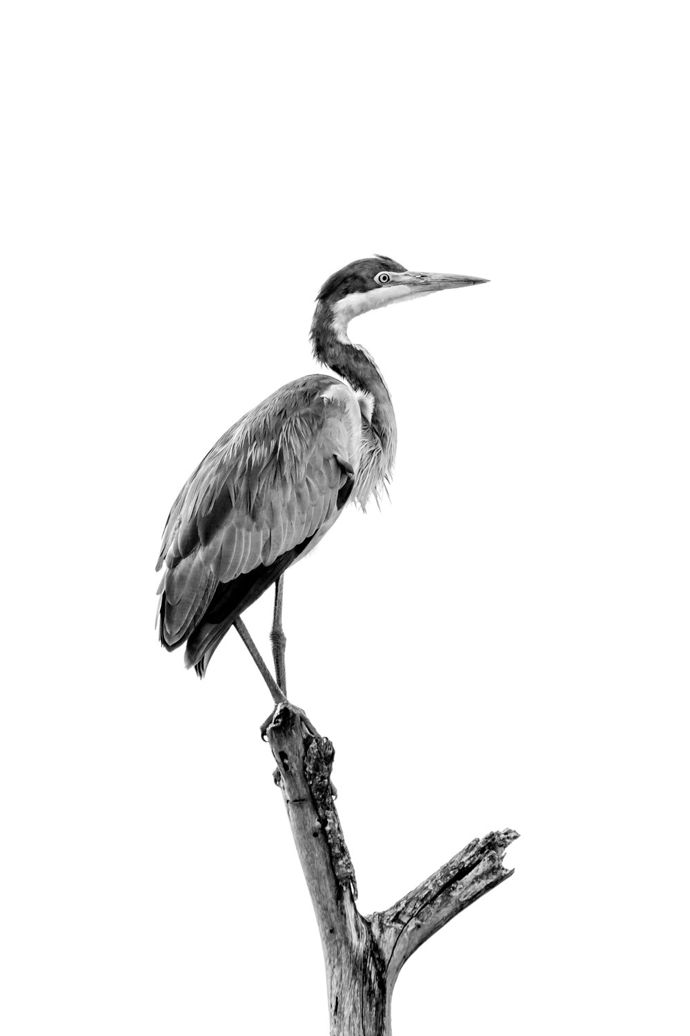 Black-headed heron in black and white