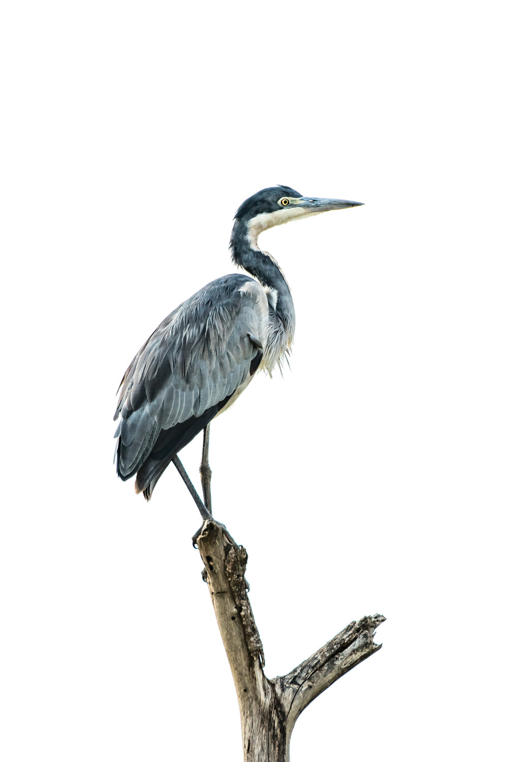 Black-headed heron perched on dead tree stump