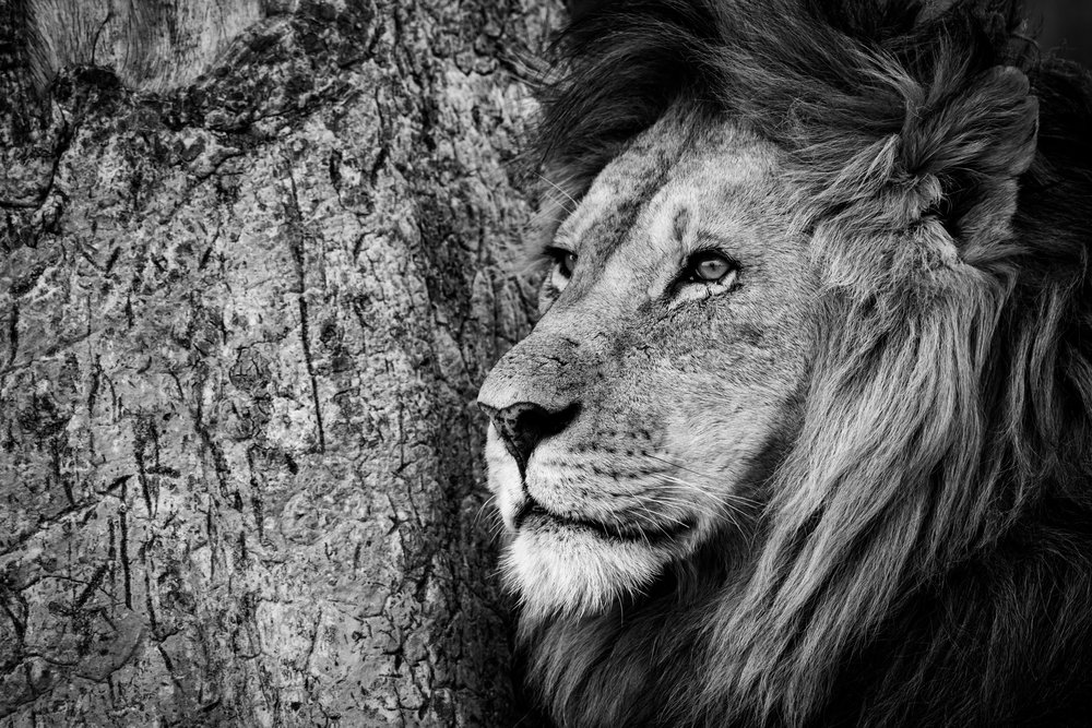 Mono close-up of male lion by trunk