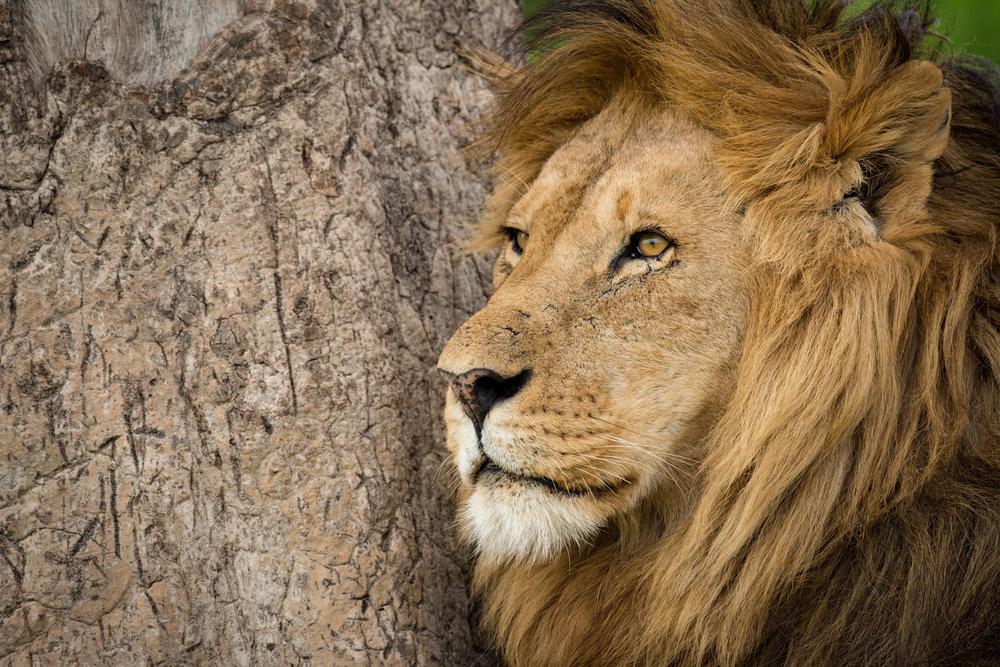 Lion (m)