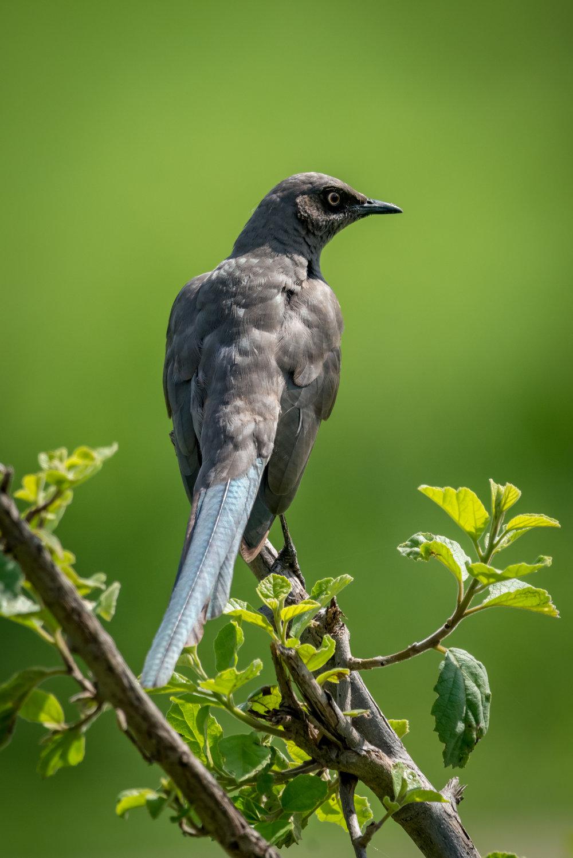 Ashy starling
