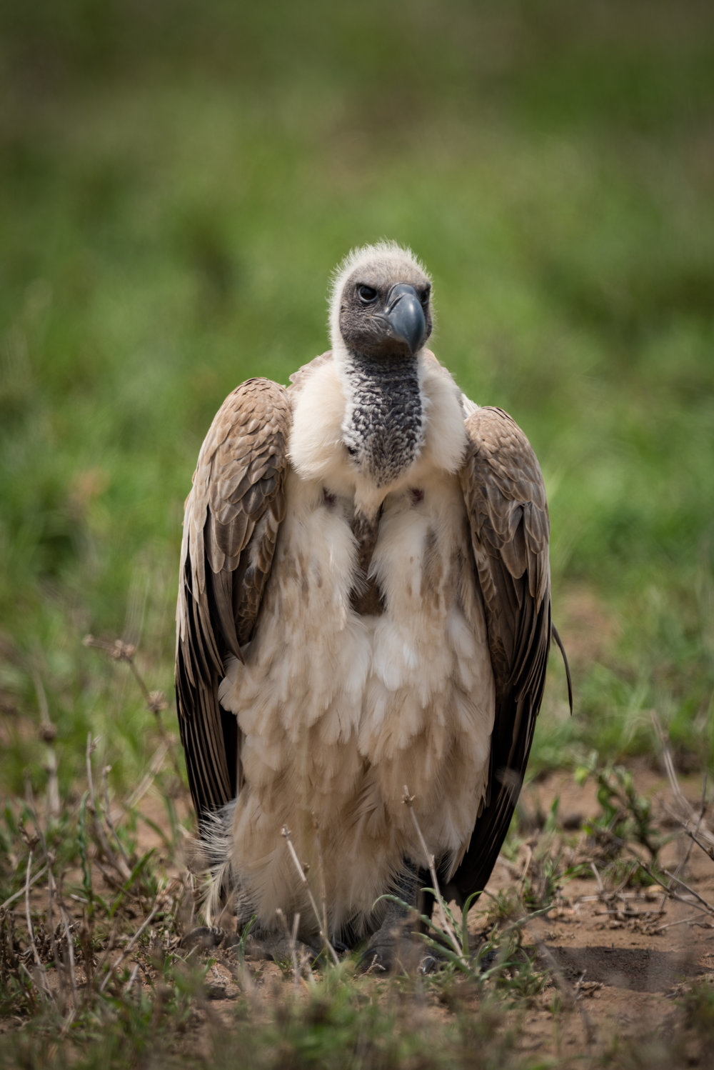 White-backed vulture on grass with wings folded