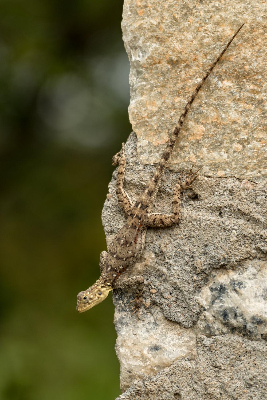 Agama lizard (f)