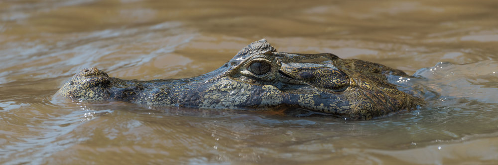 Close-up of head of swimming yacare caiman