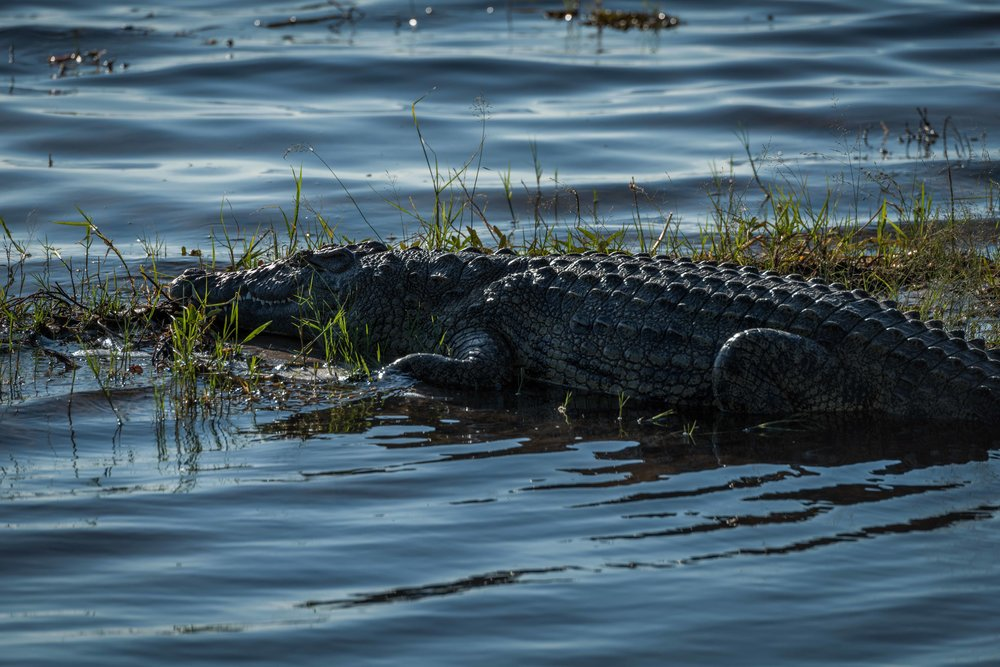 Close-up of Nile crocodile on grassy island