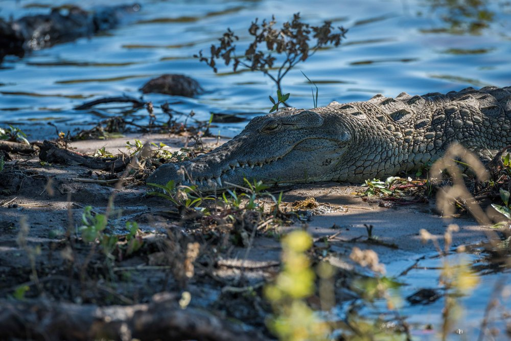 Close-up of Nile crocodile on sandy shoreline