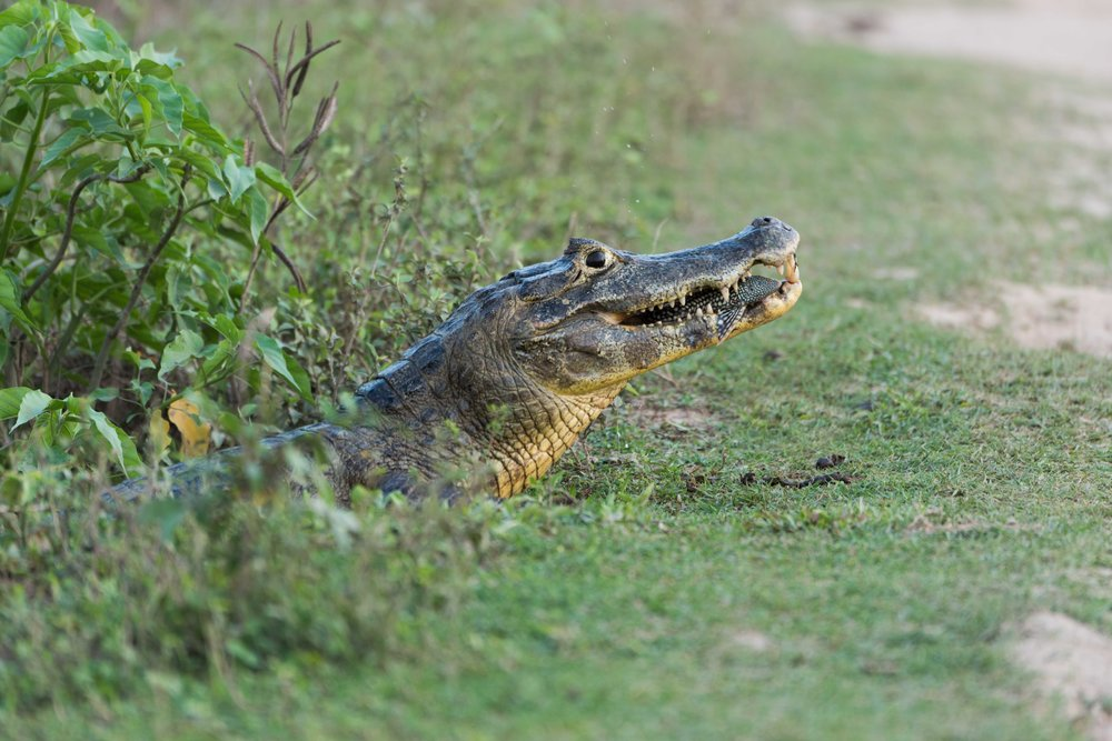 Close-up of yacare caiman eating small fish