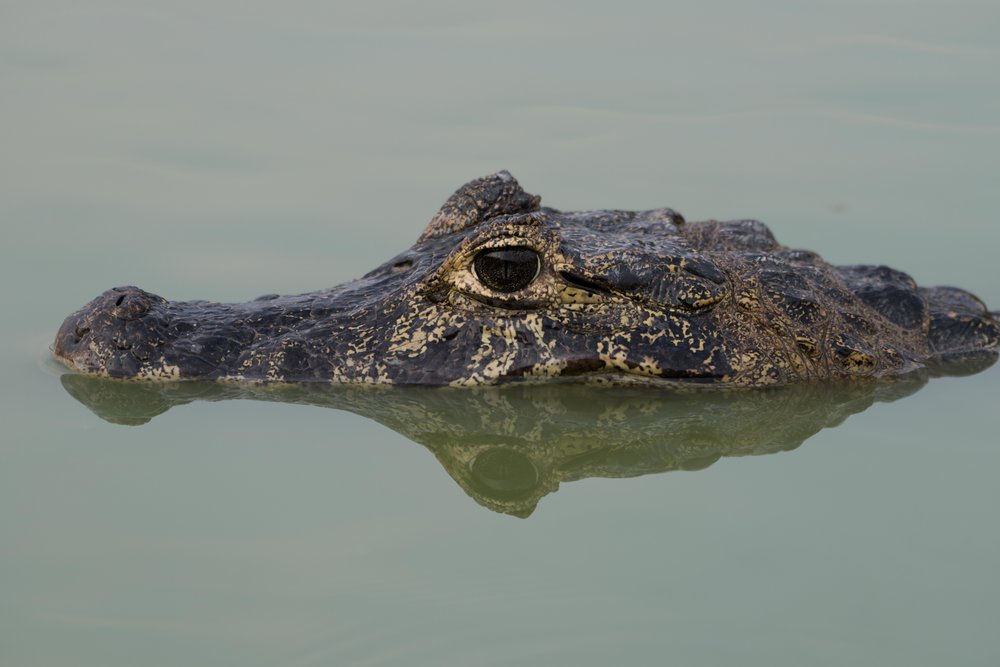 Close-up of yacare caiman head and reflection