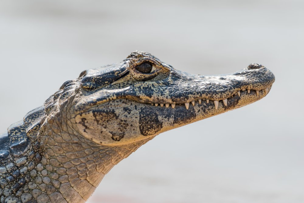 Close-up of yacare caiman head eyeing camera
