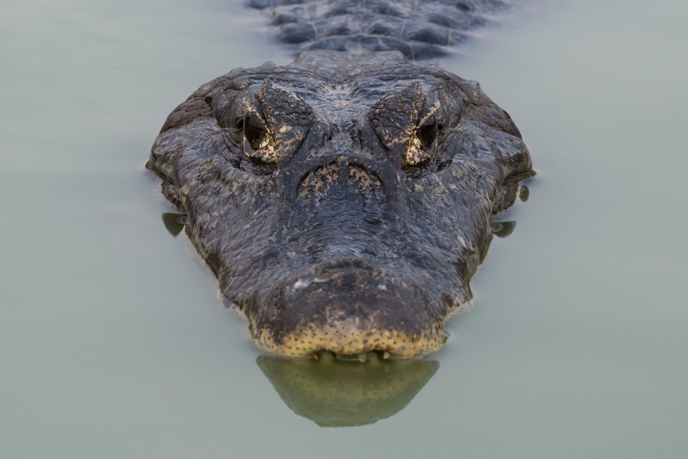 Close-up of yacare caiman head facing camera