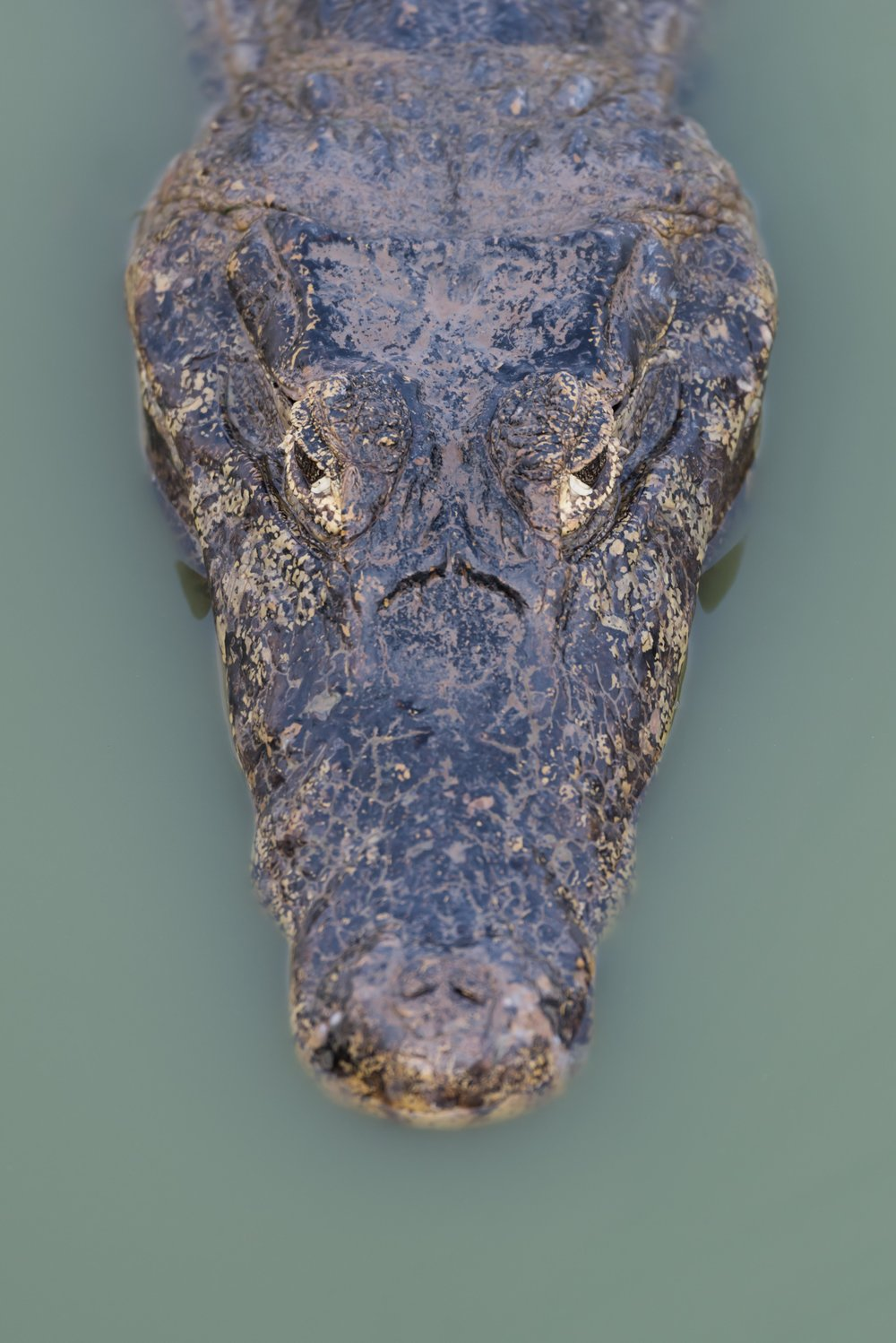 Close-up of yacare caiman head in pool