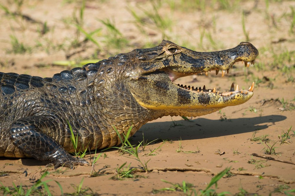 Close-up of yacare caiman head on beach