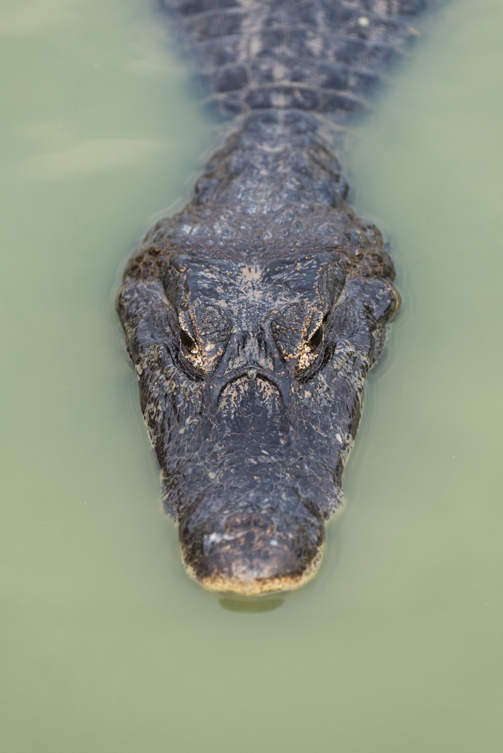 Close-up of yacare caiman in green river