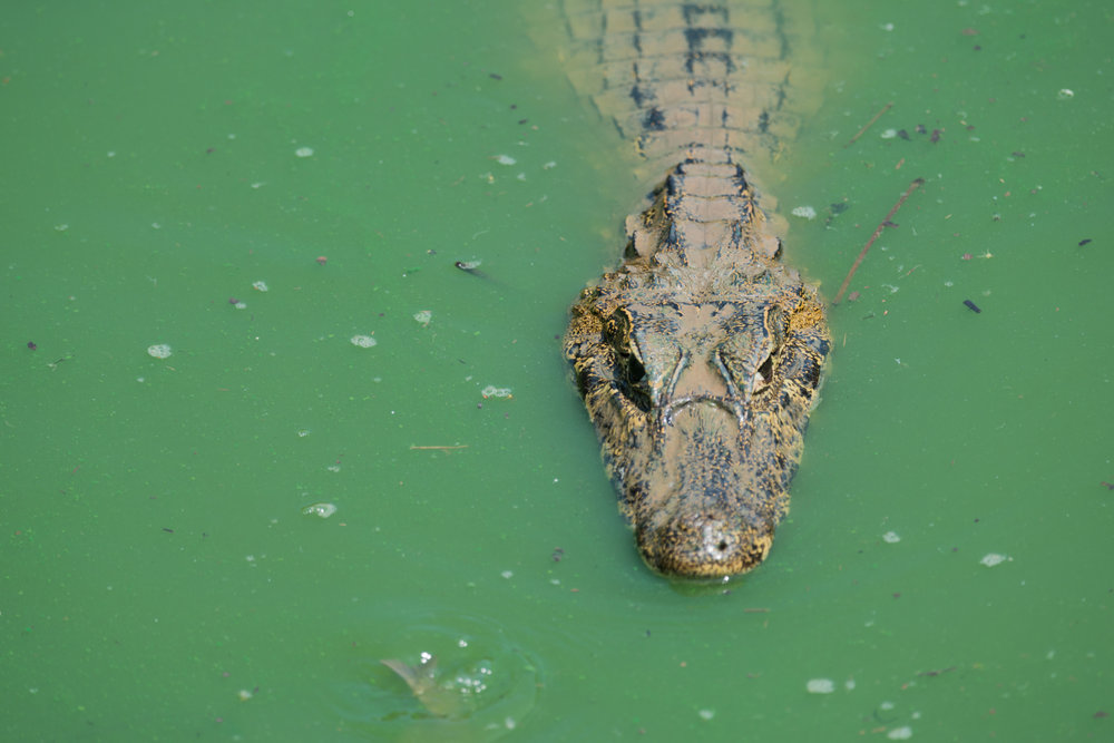 Close-up of yacare caiman in green water