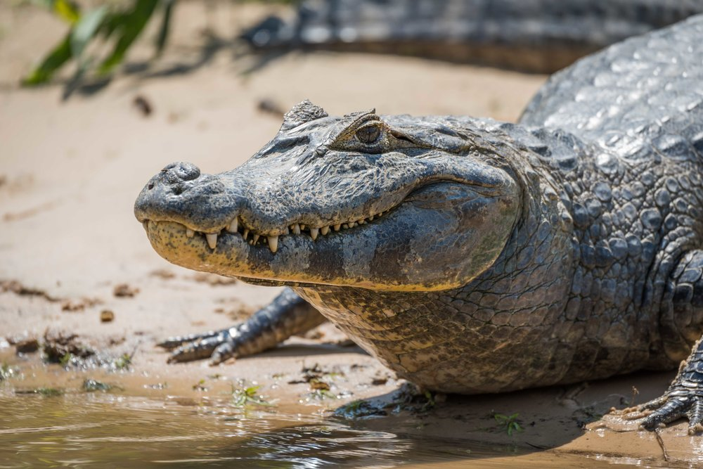 Close-up of yacare caiman on muddy shore