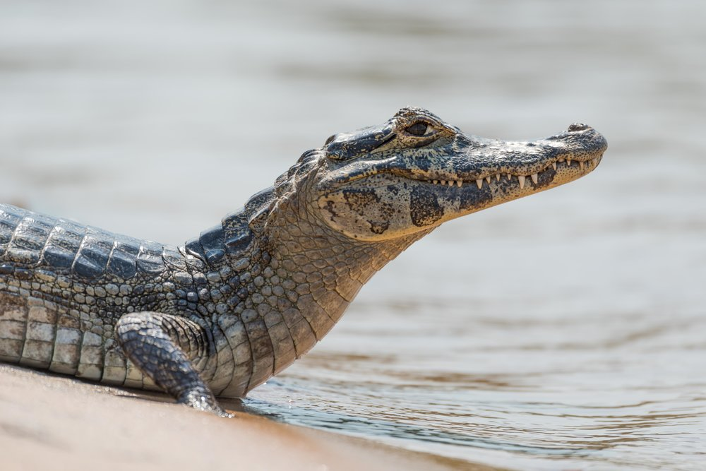 Close-up of yacare caiman on sandy beach
