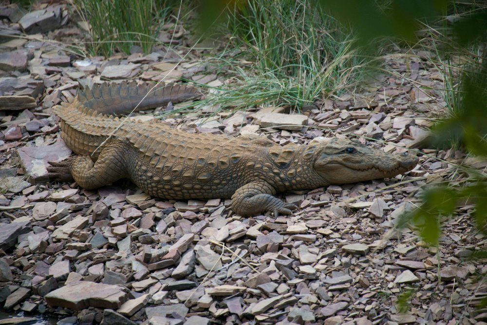Crocodile on stony ground