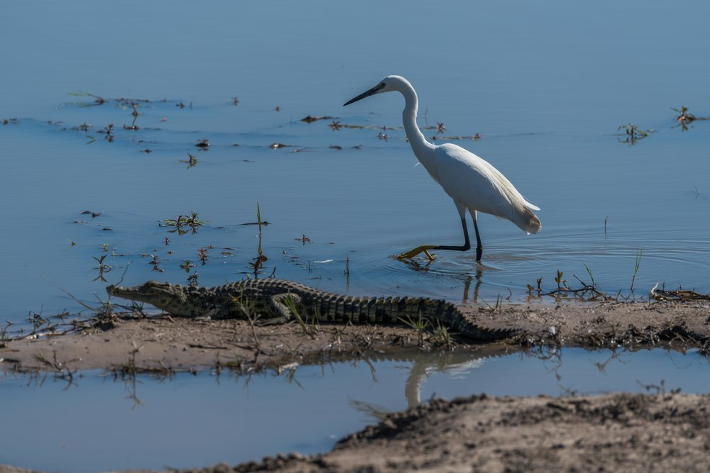 Great white egret walking past Nile crocodile