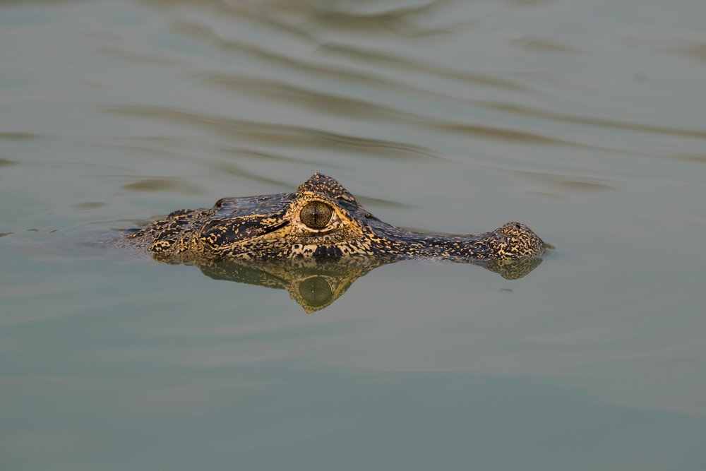 Head of yacare caiman in calm river