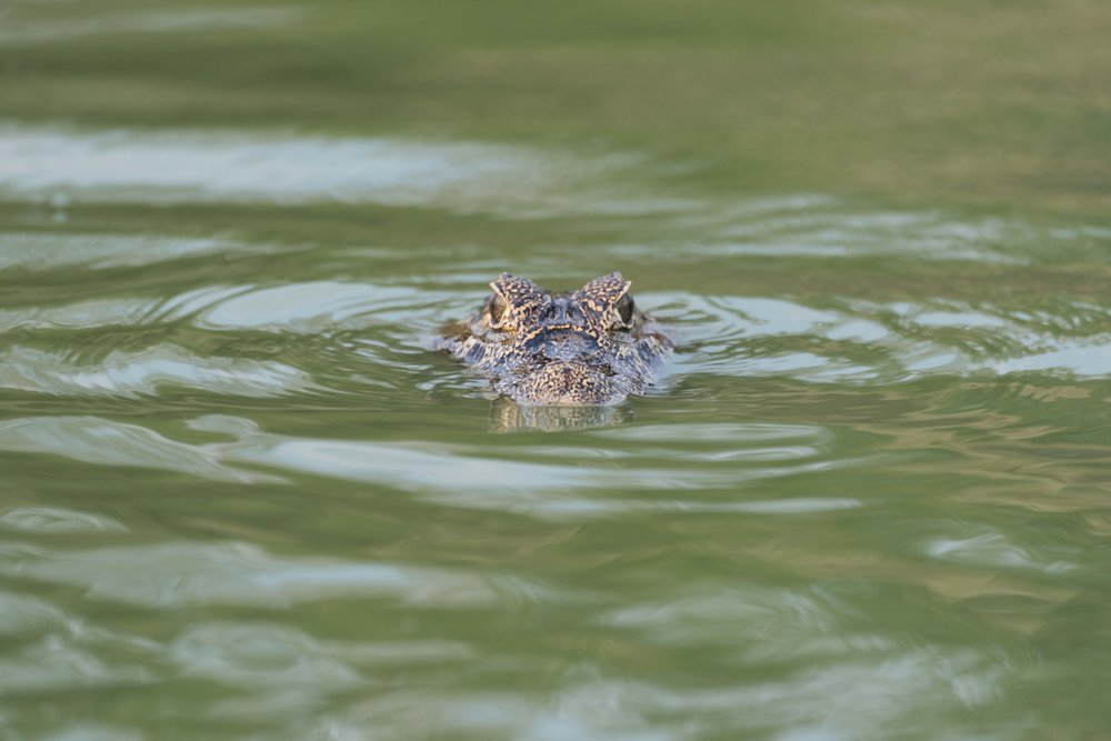 Head of yacare caiman in green water