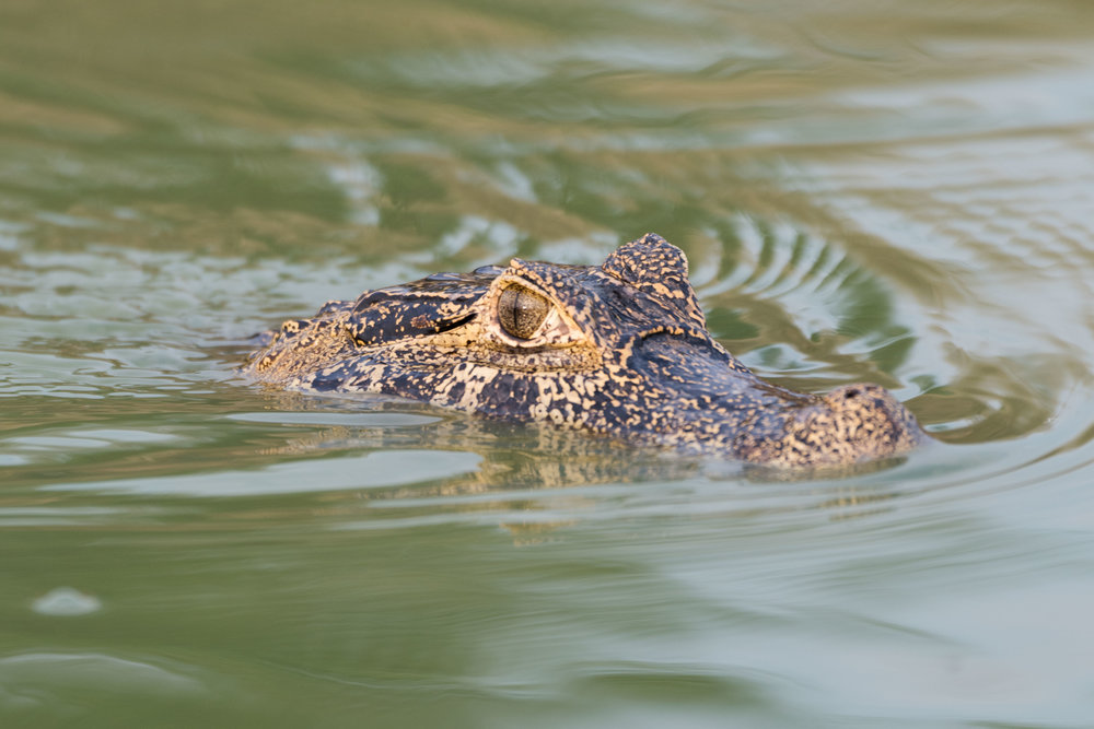Head of yacare caiman swimming in river