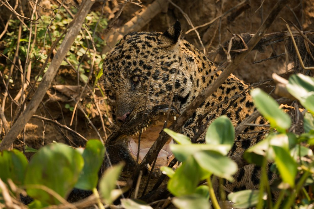 Jaguar biting yacare caiman with open jaws