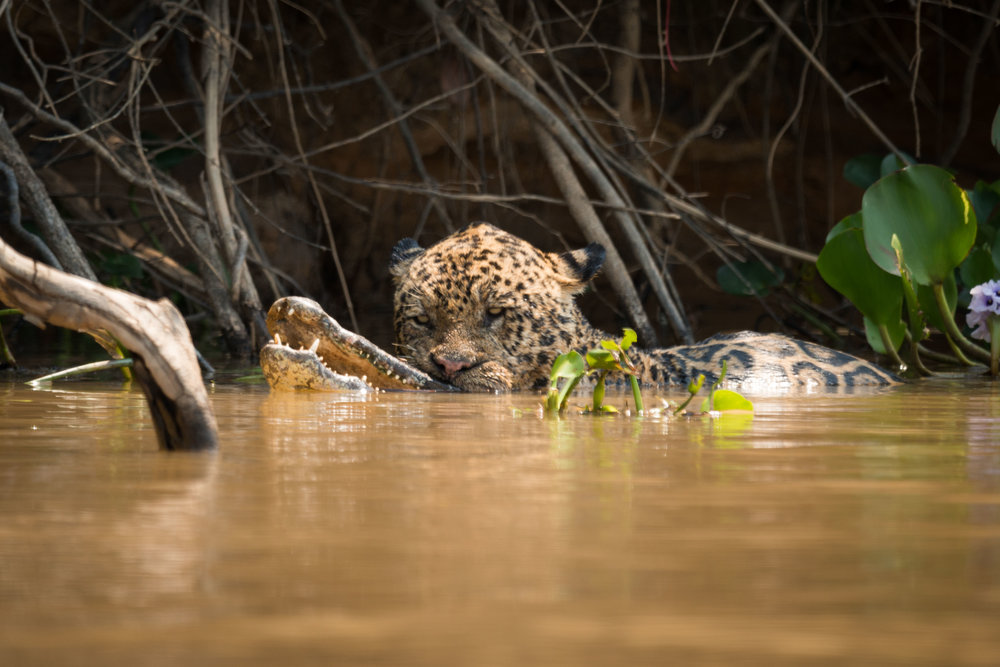 Jaguar carrying dead yacare caiman in river